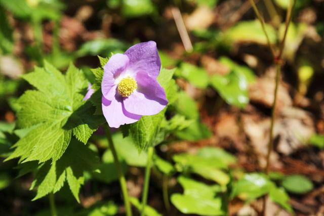 六甲高山植物園で春の花が見頃を迎えています
