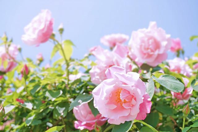 「バラの小径 ローズウオーク」 六甲カンツリーハウス特別開園