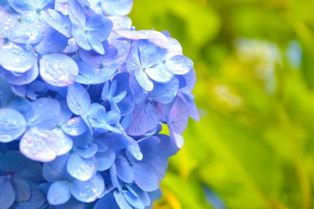 須磨離宮公園でアジサイ、ハナショウブなどが楽しめます
