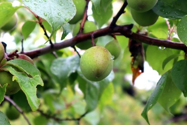 梅雨と、梅と雨の関係